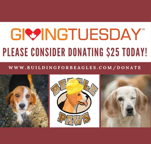 Will you help BUILD a BETTER future for the BEAGLE breed this GivingTuesday?