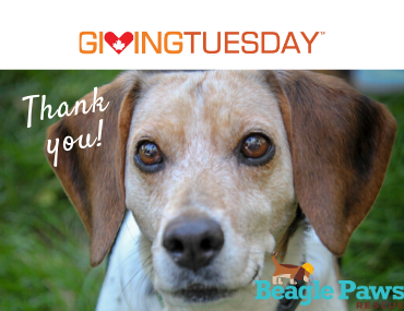 Thank you for supporting homeless Beagles this past Giving Tuesday!